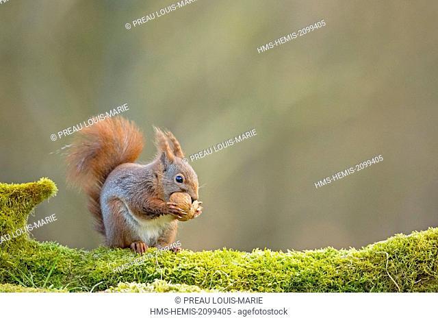 France, Maine et Loire, Squirrel (Sciurus vulgaris)