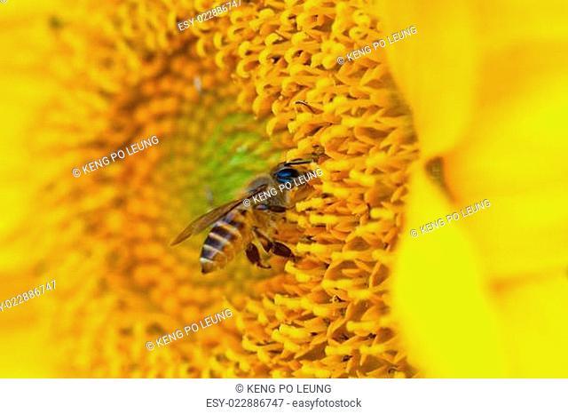 beautiful sunflower and bee