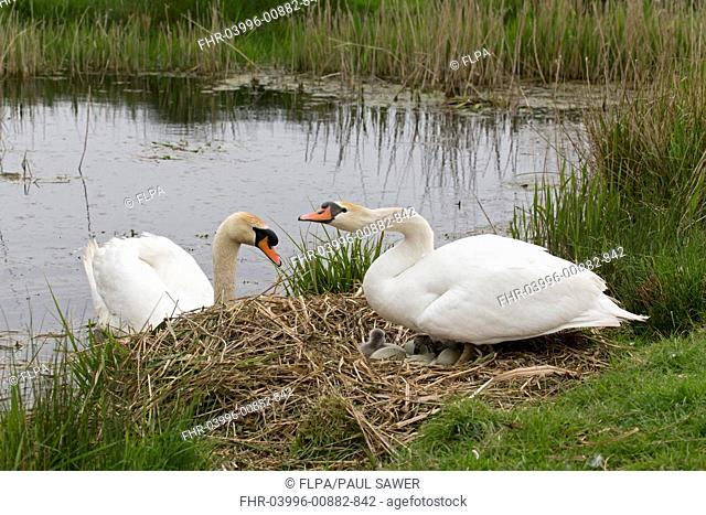Mute Swan (Cygnus olor) adult pair, female standing on nest with eggs and cygnets, male swimming, Suffolk, England, May