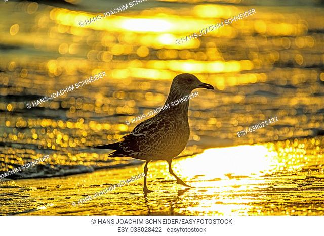 herring gull on a beach of the Baltic sea during sunrise