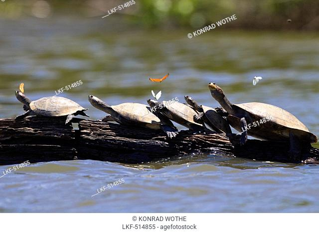 Amazon River Turtles, Podocnemis unifilis, Tambopata National Reserve, Peru, South America