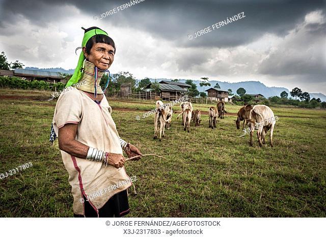 Padaung woman herding cattle, Loikaw area, Myanmar, Asia