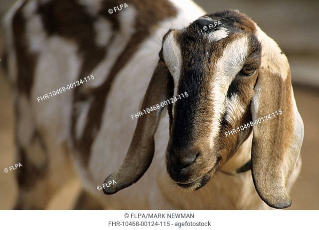 Nubian Goat Close-up of head