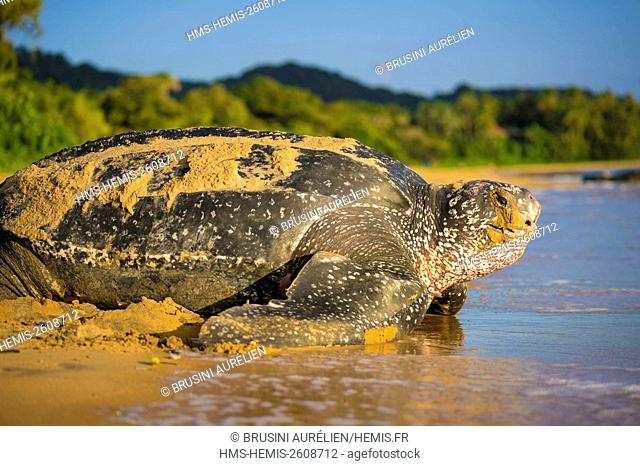 France, Guiana, Cayenne, Gosselin beach, return to the Atlantic Ocean of a female leatherback turtle (Dermochelys coriacea) after nesting in the morning