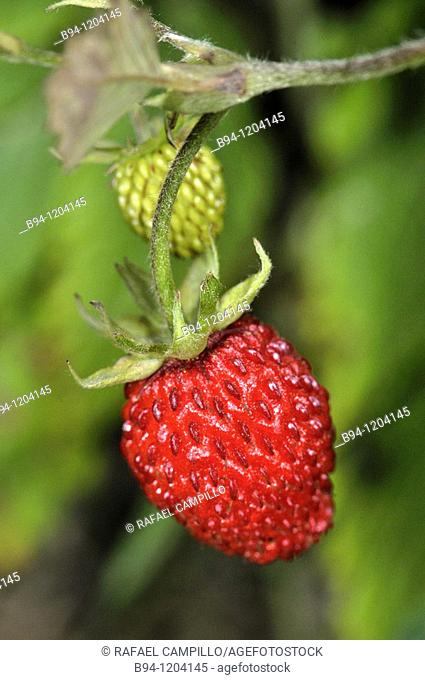 Wild strawberries (Fragaria vesca, fam. Rosaceae). Osseja, Languedoc-Roussillon, Pyrenees Orientales, France