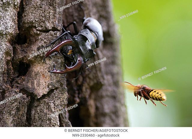 Stag beetle (Lucanus cervus) on old oak tree, attacked by hornet (Vespa crabro), Bavaria, Germany