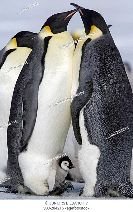 Emperor Penguin (Aptenodytes forsteri). Couple with chick. Snow Hill Island, Antarctica