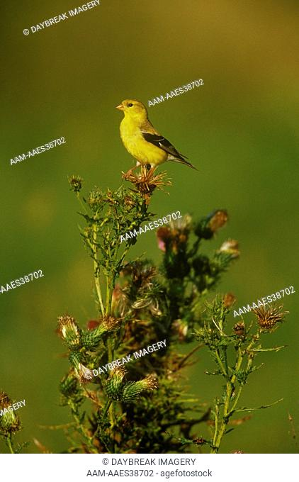 American Goldfinch female on Thistle plant, Great Smoky Mtns NP, TN (Carduelis tristis)