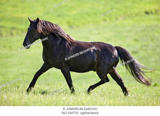 Latvian horse on meadow