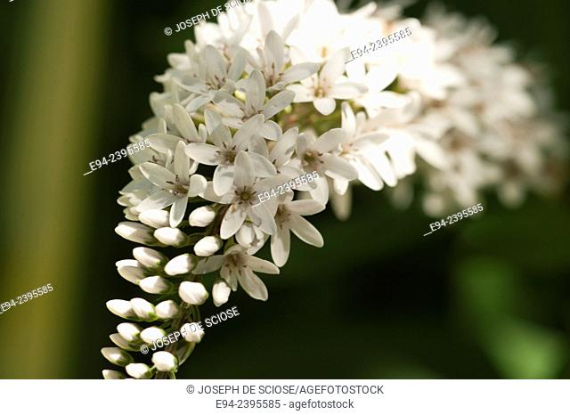 Close up of a Gooseneck Loosestrife flower in the summer.Alabama USA