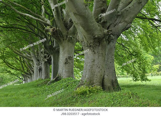 Old beech trees in a row. Dorset, England, UK