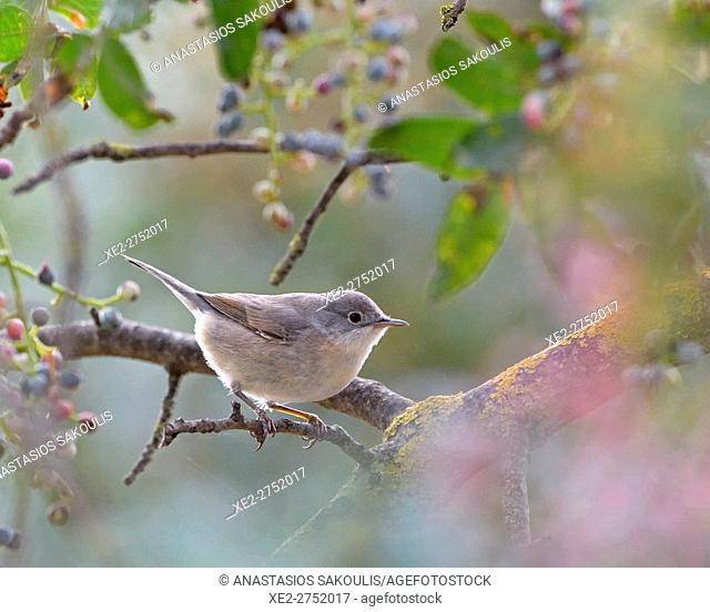 Subalpine Warbler (Sylvia cantillans), Greece