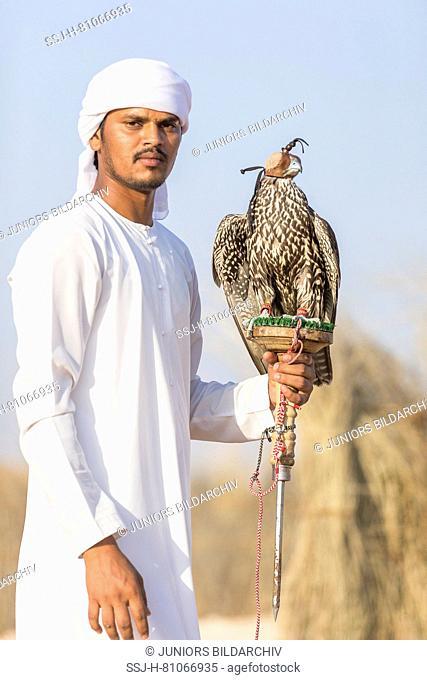 Saker Falcon (Falco cherrug). Falconer carrying a trained bird on its block. Abu Dhabi