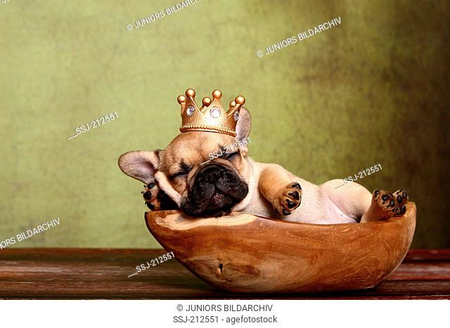 French Bulldog. Puppy (6 weeks old) sleeping in a wooden bowl, wearing a crown. Germany