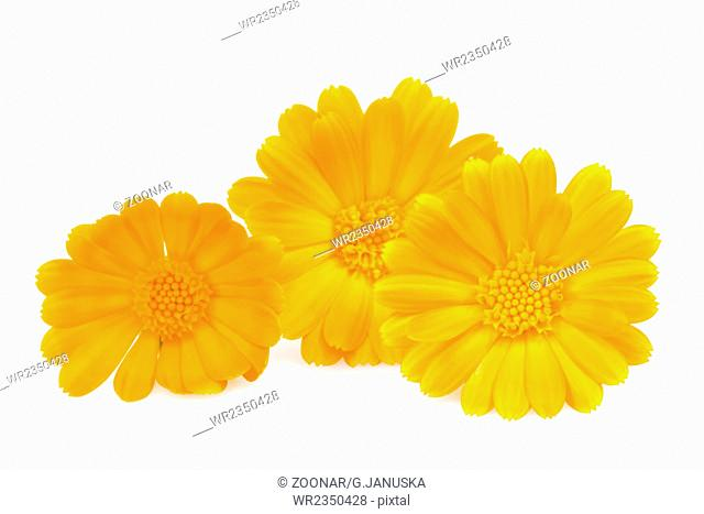 Daisy gerbera flowers isolated on white