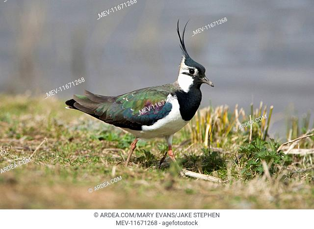 Lapwing adult walking along grass on waters edge