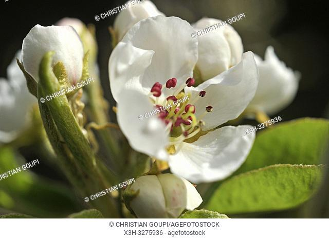 Pear tree in flower (Pyrus communis), Eure-et-Loir department, Centre-Val de Loire region, France, Europe