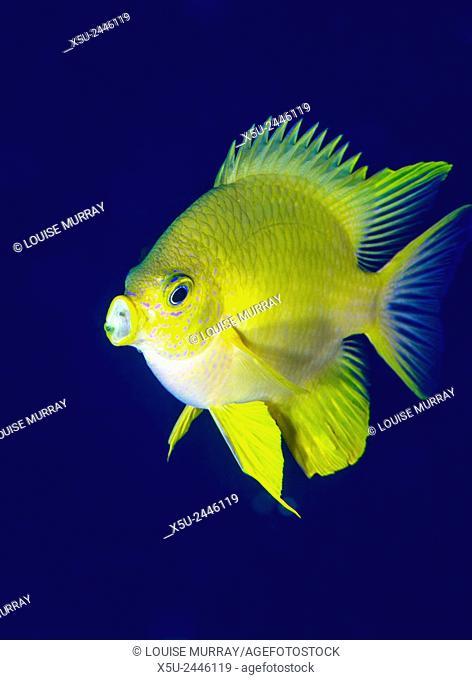 Golden Damselfish, Amblyglyphidodon aureus, is a zoo plankton feeding coral reef fish seen here ingesting food