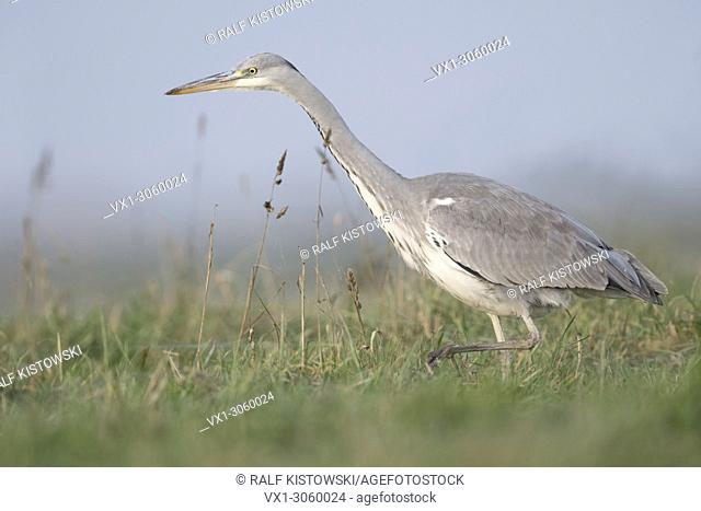 Grey Heron ( Ardea cinerea ) walking, striding stealthily through a wet meadow, searching for food, typical side view, wildlife, Europe