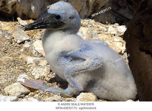 Brown booby, chick, Sula leucogaster, Saint Peter and Saint Paul Rocks, Atlantic Ocean, Brazil