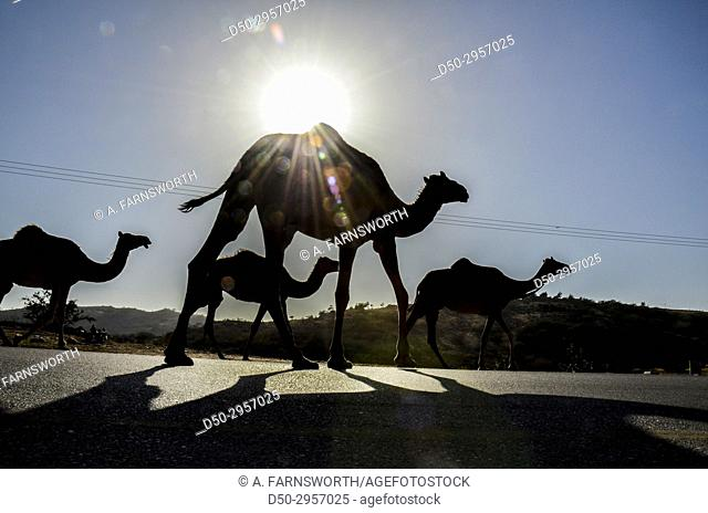 Salalah, Oman. Camels on road