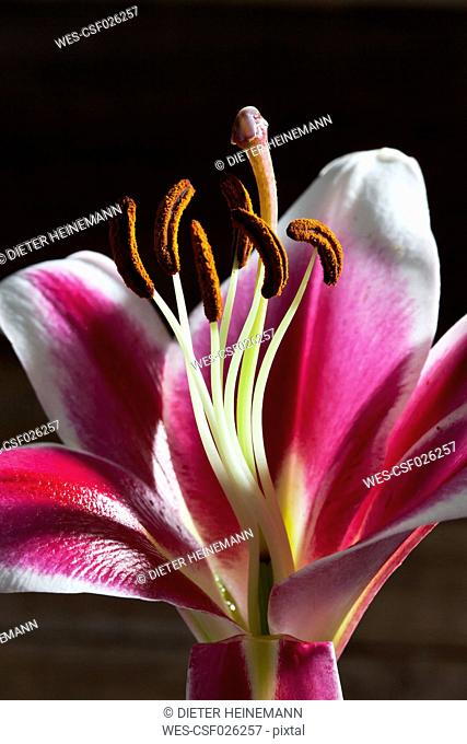 Blossom of pink white lily, Lilium, close up