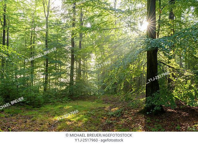 Beech forest on misty morning, Spessart, Bavaria, Germany, Europe