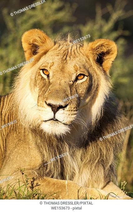 Lion (Panthera leo). Male. Resting and watching his mate with curiosity. Kalahari Desert, Kgalagadi Transfrontier Park, South Africa