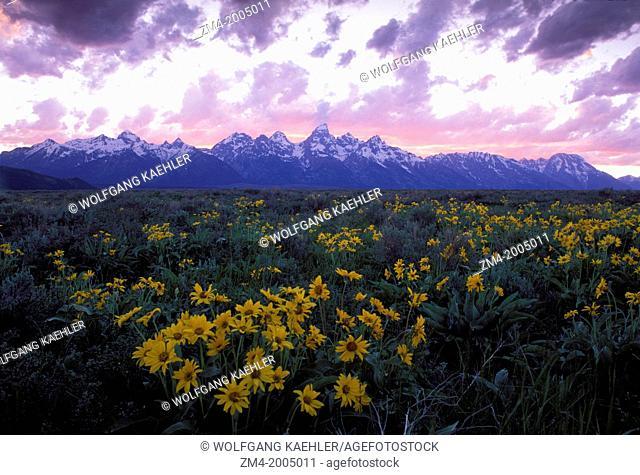 USA, WYOMING, GRAND TETON NATIONAL PARK, TETON RANGE AT DUSK, BALSAMROOT IN FOREGROUND