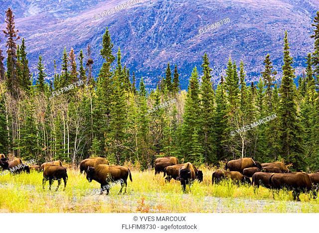 Wild Bison grazing along Alaska Highway, Yukon