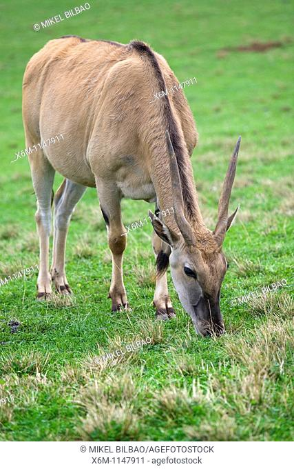 Common Eland or Southern Eland Taurotragus oryx  Park of the Nature of Cabarceno  Cabarceno, Cantabria, Spain