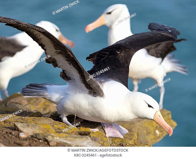 Black-browed albatross or black-browed mollymawk (Thalassarche melanophris). South America, Falkland Islands, January