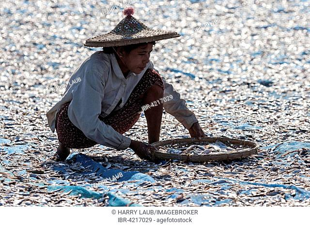 Local woman wearing straw hat, sorting through fish, out to dry on blue nets on the beach of the fishing village Ngapali, Thandwe, Rakhine State, Myanmar