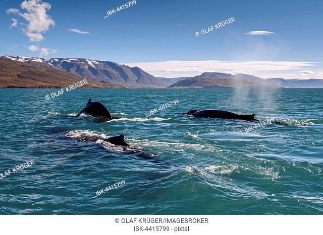 Humpback whales (Megaptera novaeangliae) swimming, Eyjafjörður, Iceland