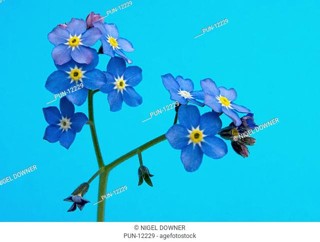 Close-up of a spray of wood forget-me-not Myosotis sylvatica set against a blue background in a Norfolk garden in spring