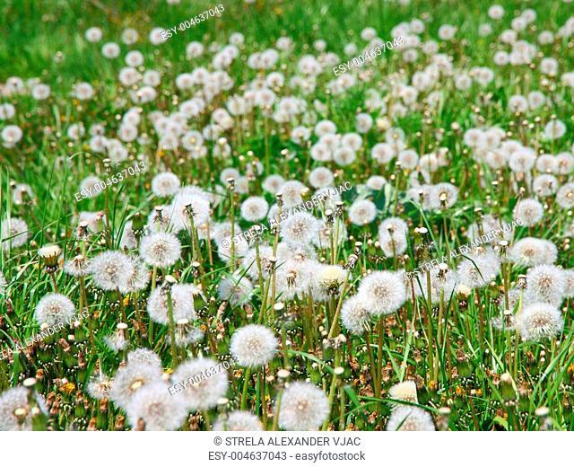 Summer field of dandelions flowers