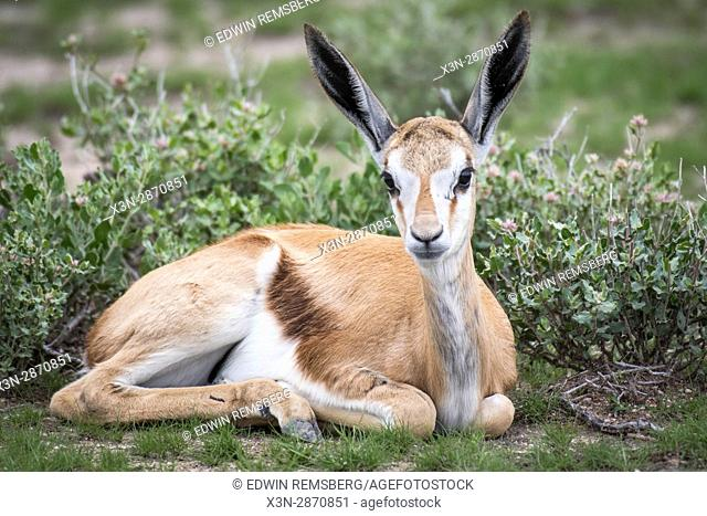 Young springbok antelope resting at Etosha National Park, located in Namibia, Africa