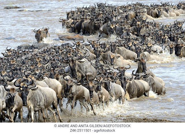 Blue Wildebeest (Connochaetes taurinus) herd during crossing the Mara river, Serengeti national park, Tanzania