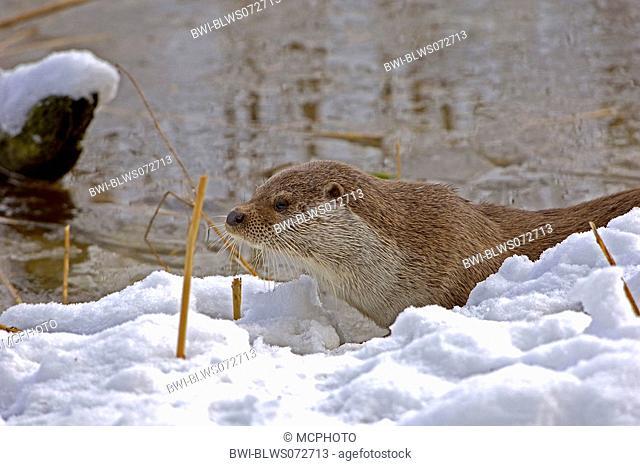 European river otter, European Otter, Eurasian Otter Lutra lutra, at snowy shore, Poland