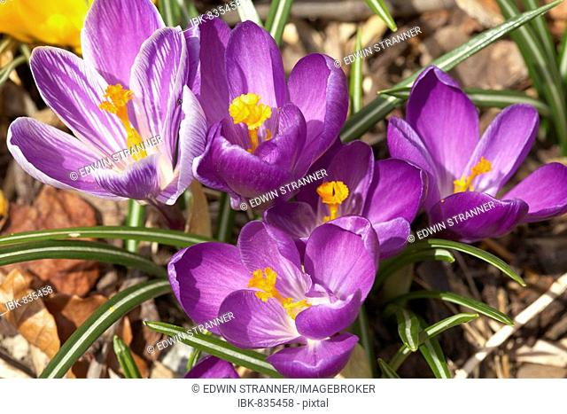 Crocuses, first heralds of spring in a garden, Carinthia, Austria, Europe