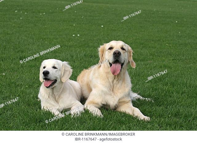 Two Golden Retriever bitches next to each other on a lawn