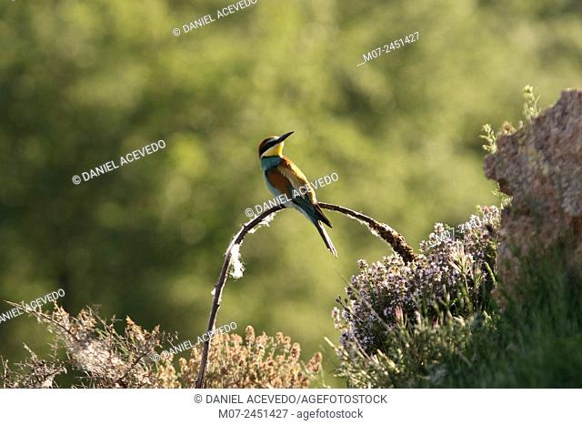 European Bee eater merops apiaster, Spain, Europe