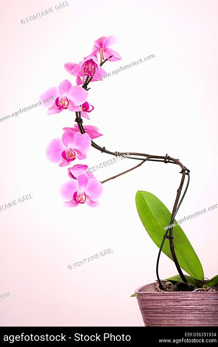 Purple orchid with white background