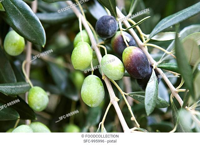 Olives on the tree close-up