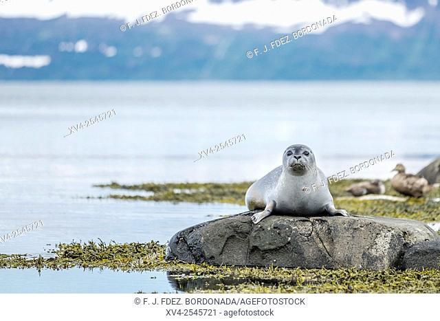 Seal in Skotufjordur, Westfjords, Iceland