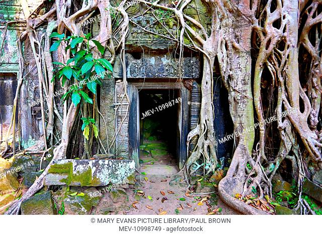 Giant tree roots at Ta Phrom, Khmer Temple in Angkor, Siem Reap, Cambodia