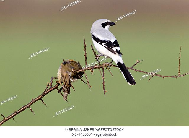 Great Greay Shrike Lanius excubitor, perched on branch, whith impaled robin, Lower Saxony, Germany
