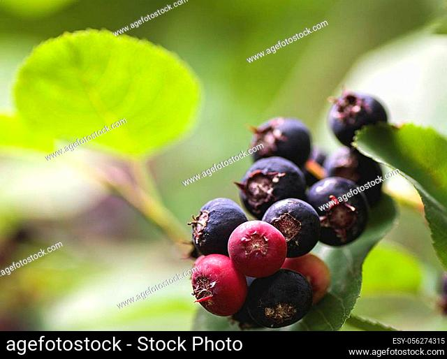 garden plant shrub Saskatoon ripening fruits with leaves closeup