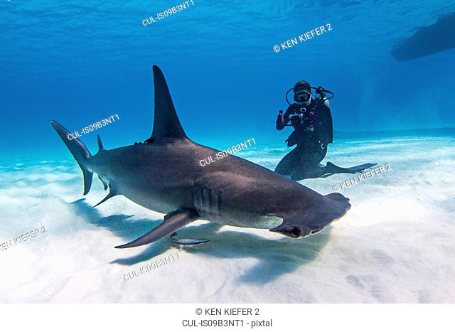 Diver beside Great Hammerhead shark, underwater view