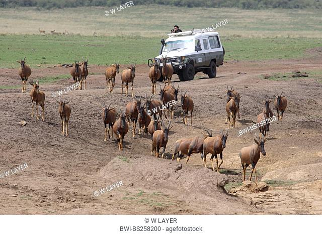 red hartebeest Alcelaphus buselaphus, herd fleeing from a photographer stopping his an off-road vehicle to take pictures, Kenya, Masai Mara National Park